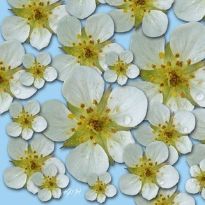 strawberry_blossoms_1