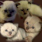 Rcats_brown3_shop_thumb