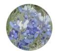 Bluebonnets2_comment_151331_thumb