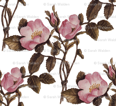 Charlotte Bronte's Wild Roses on White