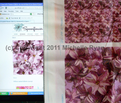 Rhyacinth_flowers_comment_72444_thumb