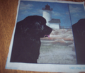 632984_rrrrrnewfoundland_and_lighthouse_portrait_style_comment_90204_thumb