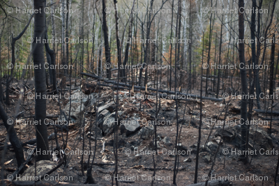 Burnt forest from forest fire