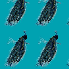 peacock1jpg-ch
