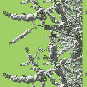 white cherry green