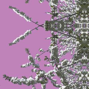 white cherry lilac