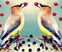 Rrrcedar_waxwing_with_toyon_berry_ed_ed_comment_528308_thumb