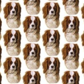 Cavalier King Charles spaniel dog Dani