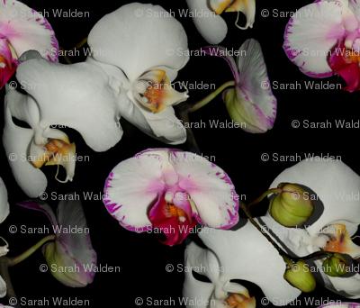 Orchid Ewe Knot Black