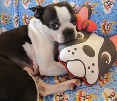 Latte the Boston Terrier Pillow
