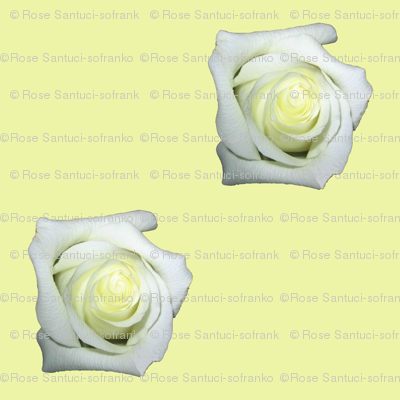 White Roses On Cream Background