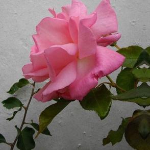 PINK_ROSE_SPOONFLOWER