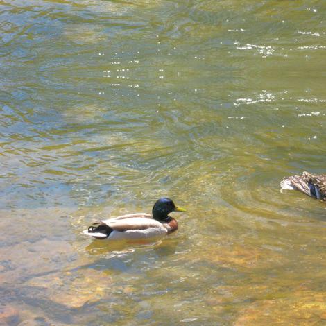 Ducks Swimming fabric by painter13 on Spoonflower - custom fabric