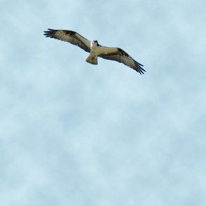 Osprey Fishing fabric with clouds