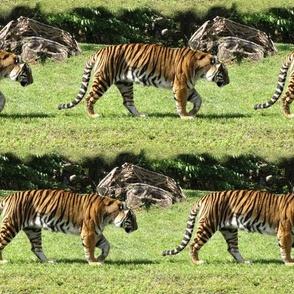 Tiger Stripe 3