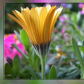 Yellow Gerber daisy in Garden