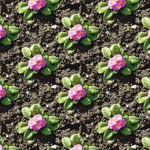 Freshly planted pink primroses