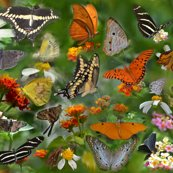 Rrbutterfly_convention_1368_shop_thumb