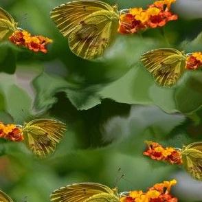 Sulphur Butterfly 2