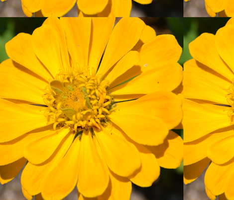 Yellow Zinnia Flower fabric by peacefuldreams on Spoonflower - custom fabric