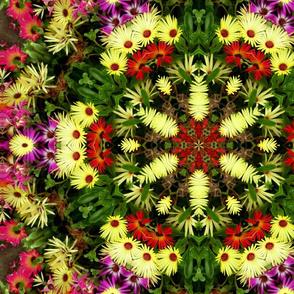 Livingstone daisies.