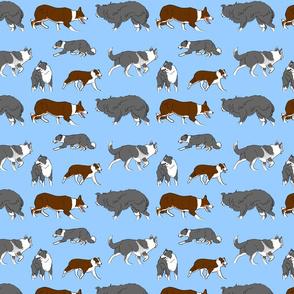 Herd of working Border Collies - blue