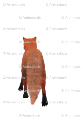 Red Fox Tail, L