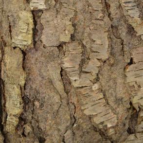Cherry bark