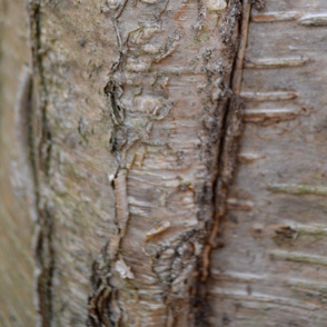 Birch bark scar