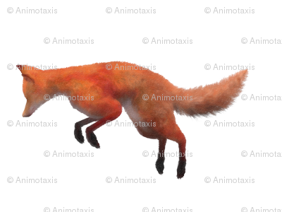 Red Fox Leaping, L