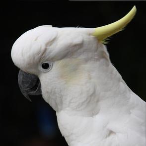 NP_Cockie head