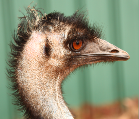 Emu, side view by Su_G fabric by su_g on Spoonflower - custom fabric