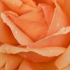 Indian Summer Rose
