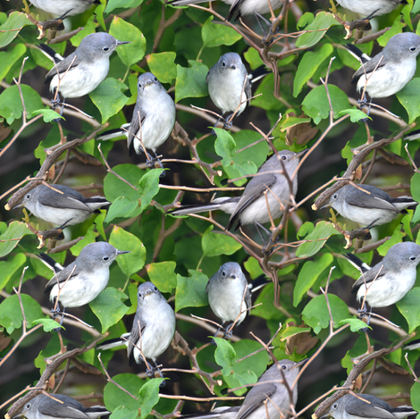 Bluegray Gnatcatcher Bird fabric by eclectic_house on Spoonflower - custom fabric