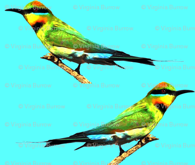 rainbow_bee_eaters