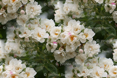 Digital Cherry Blossoms