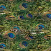 Peacocks_are_lazy_by_peacoquette_designs_shop_thumb