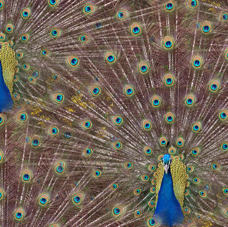 Peacocks Are Showgirls At Heart fabric by peacoquettedesigns on Spoonflower - custom fabric