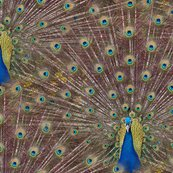 Peacocks_are_showgirls_at_heart_shop_thumb