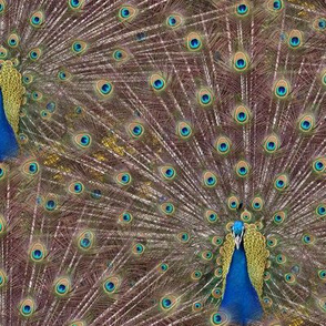 Peacocks Are Showgirls At Heart