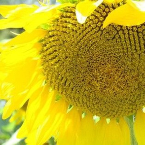 sunflower big