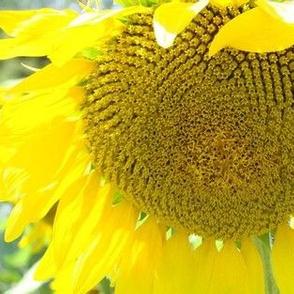 sunflower big
