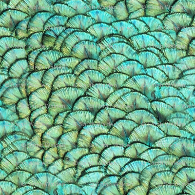 Peacocks Have Fab Pads