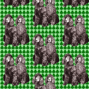 Irish water spaniels with green background