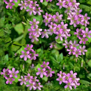 Oxalis Blossoms