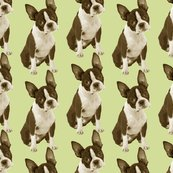Rrrrrboston_terrier_half_drop_copy_shop_thumb