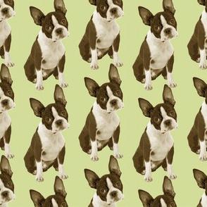Boston Terrier Half Drop
