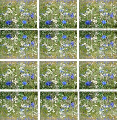 edelweiss_in_an_Alpine_meadow