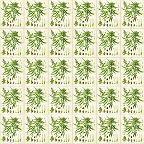 hemp-botanical-chart