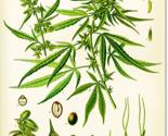 Rrrrrrrhemp-botanical-chart_thumb